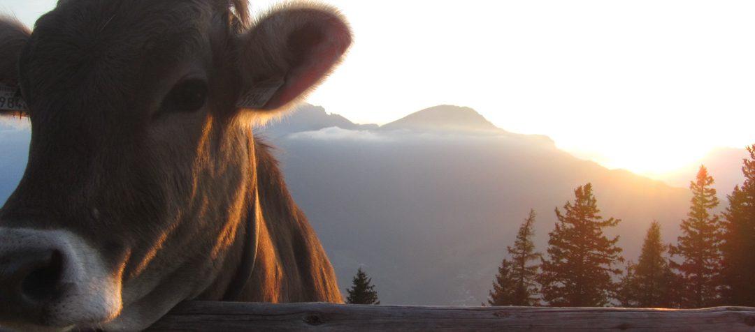 Kuh am Zaun in der Alpenwelt