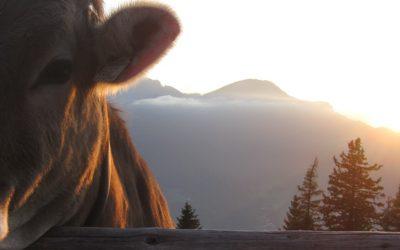 Almabtrieb in der Alpenwelt